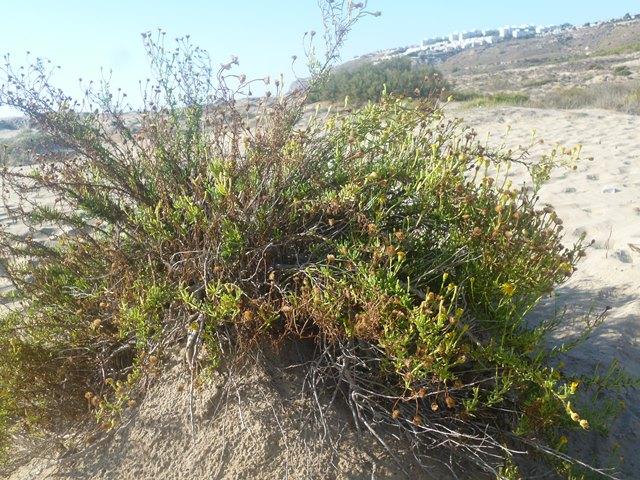 salsona (inura chrismoides) (1)