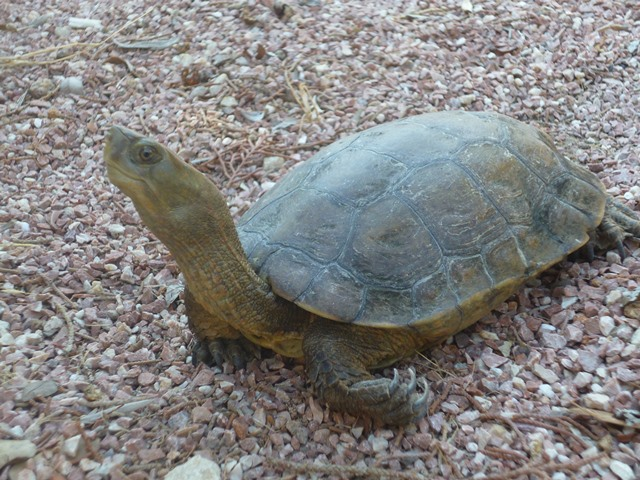 tortuga leprosa (2)